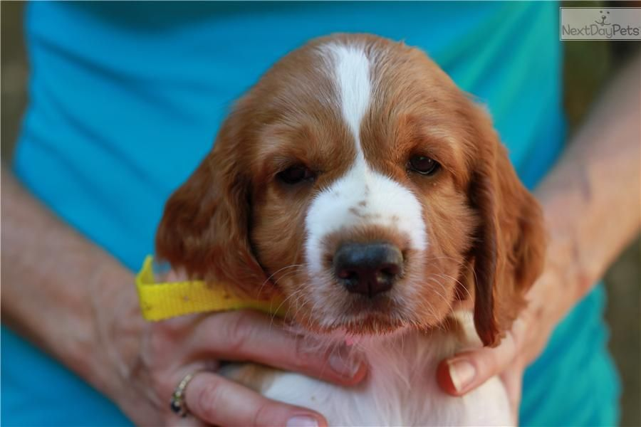 You Ll Love This Female Welsh Springer Spaniel Puppy Looking For A