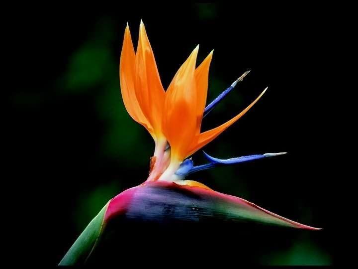 Bird Of Paradise Birds Of Paradise Flower Paradise Flowers Birds Of Paradise Plant