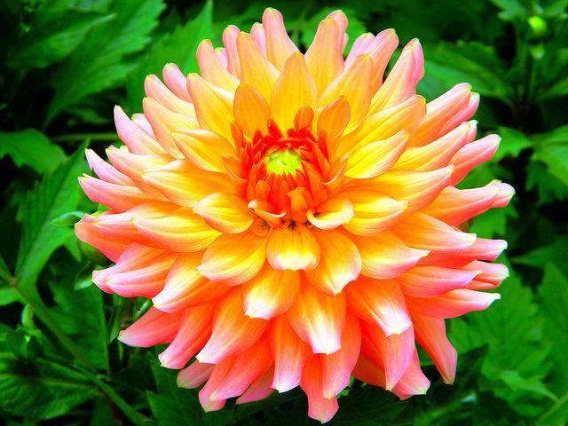 Orange Dahlia Dahlia Dahlia Flower Plants