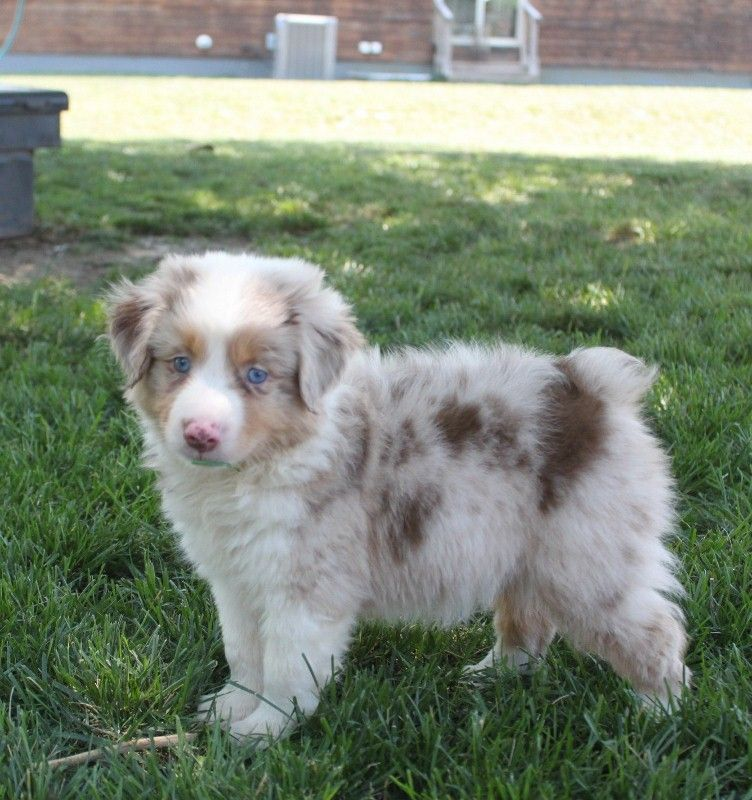 Mini Aussies Bison Red Merle Male Hunde