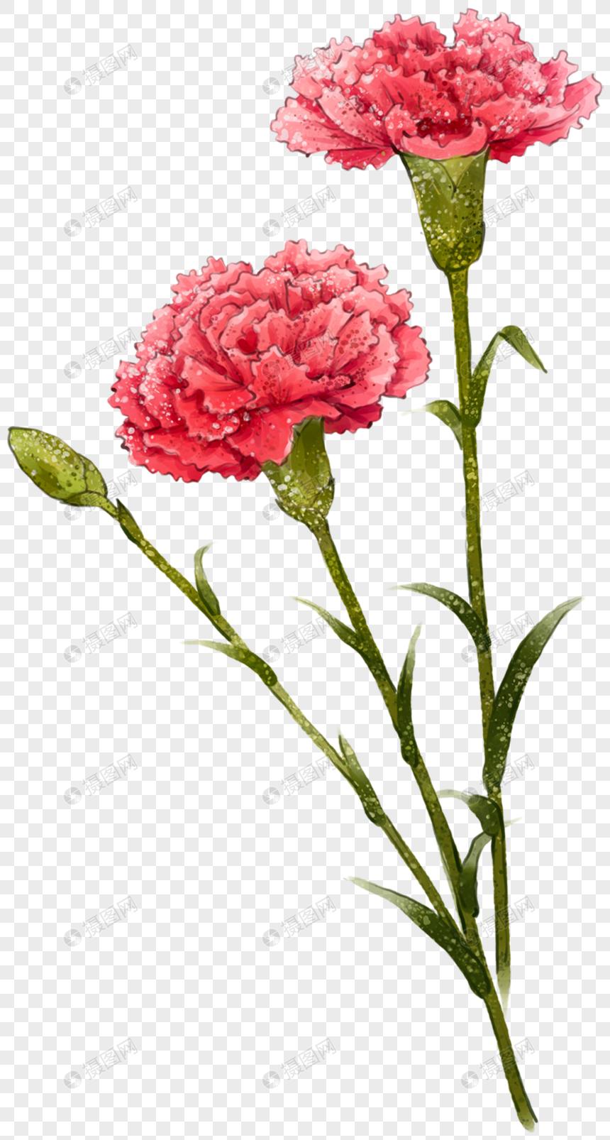 Carnation Flower Carnation Flower Carnation Flower Flower Carnation Picture Carnation Material Carnation Flower Carnations Web App Design