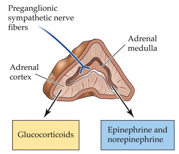 Stress Before Birth Impact On Child Development Adrenal Glands