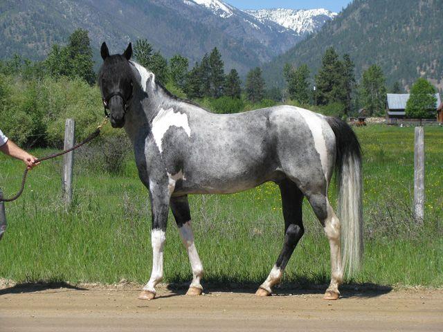 black roan tobiano - Paint Horse stallion Heza Blue Tomcat ...
