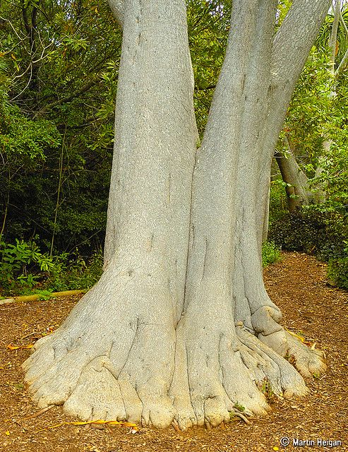 """"""" ALOE-FEET' -- A very old """"Absolutely Huge"""" Tree Aloe ( Aloe barberae ) at the Kirstenbosch National Botanical Garden, Cape Town, South Africa."""