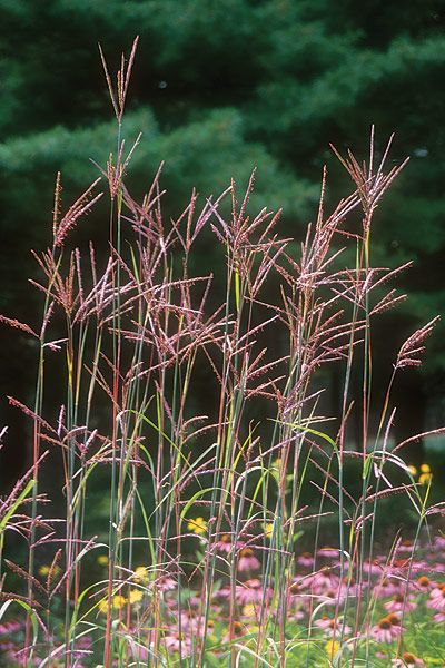 Big Bluestem (Andropogon Gerardii) : Prairie Nursery : Native Grass