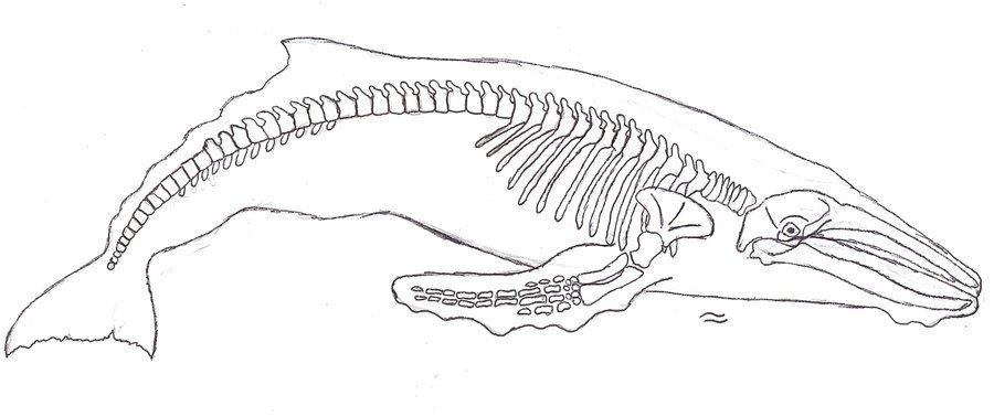 Humpback whale skeleton drawing - Google Search | whales | Pinterest ...