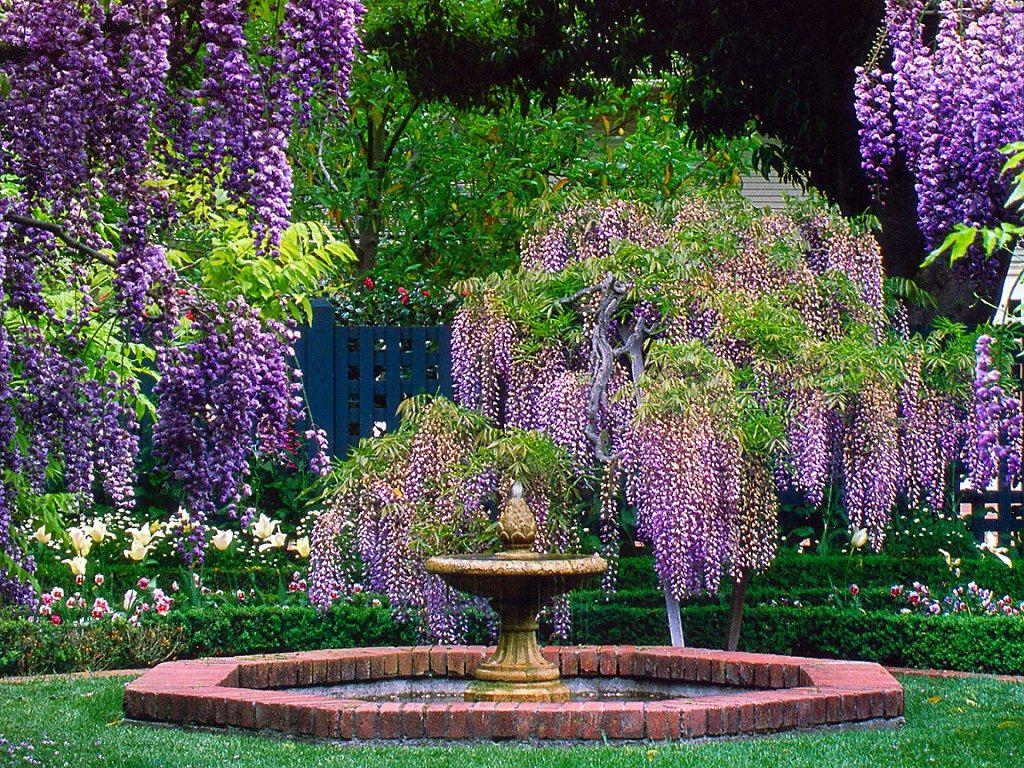 Глициния фото цветов в саду