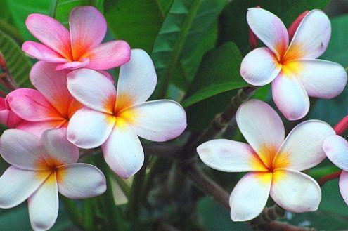Http Www Rose Gardening Made Easy Com Images Hawaiian Jpg Flower Meanings Flowers Types Of Flowers