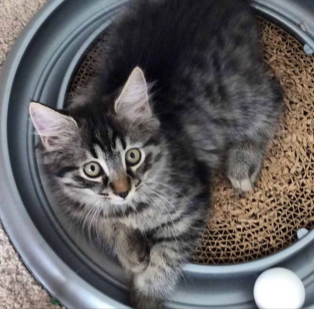 This little girl is Becky! Becky is a 3 month old tabby