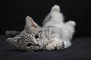 Significado de las posturas del gato #gato #cat #mascota #animales