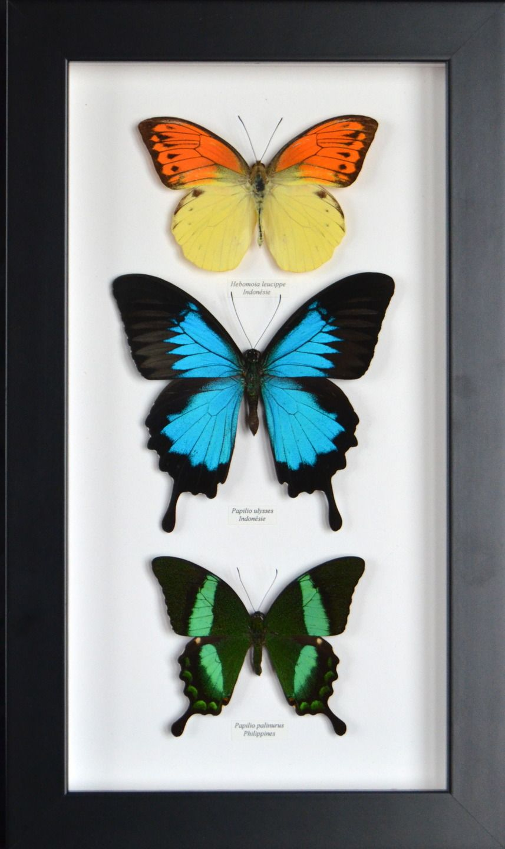 Cadre de papillons naturalisés et encadrés en qualité collection : Décorations murales par papillon-ulysses