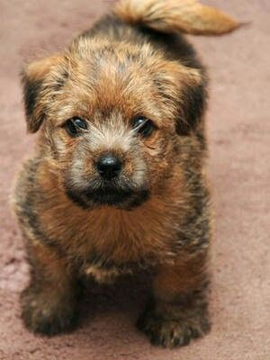 Pin By Jacque On Things L Like Norfolk Terrier Norfolk Terrier