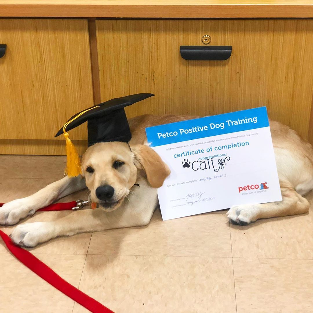 Puppy Level 1 Graduate Puppy Petco Goldenretriever