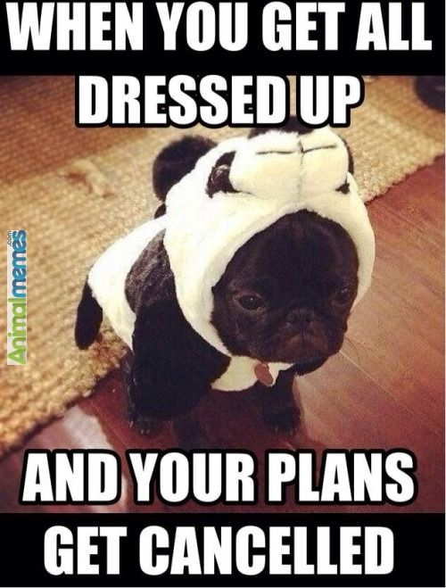 Dog Memes When You Get All Dressed Up Funny Animal Memes Dog