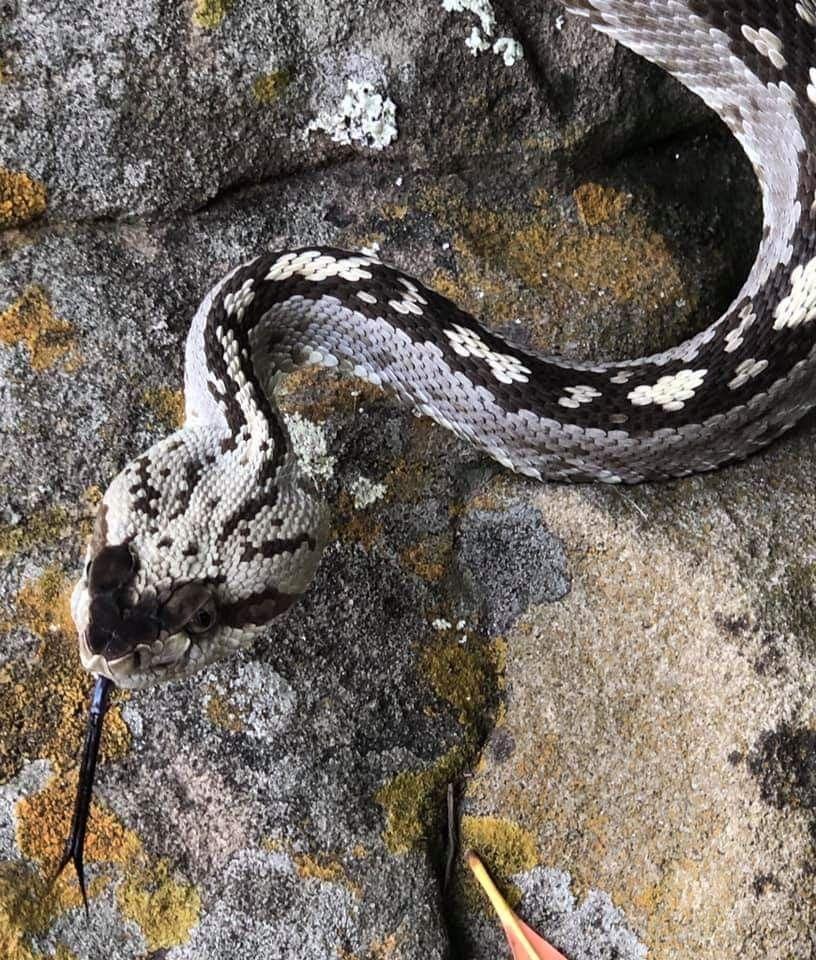 Blacktail Rattlesnake Found In Travis County Texas Austin Rattlesnake Animals Snake