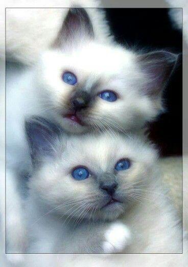 Hemels Blauwe Ogen Pretty Cats Kittens Cutest Cats Kittens