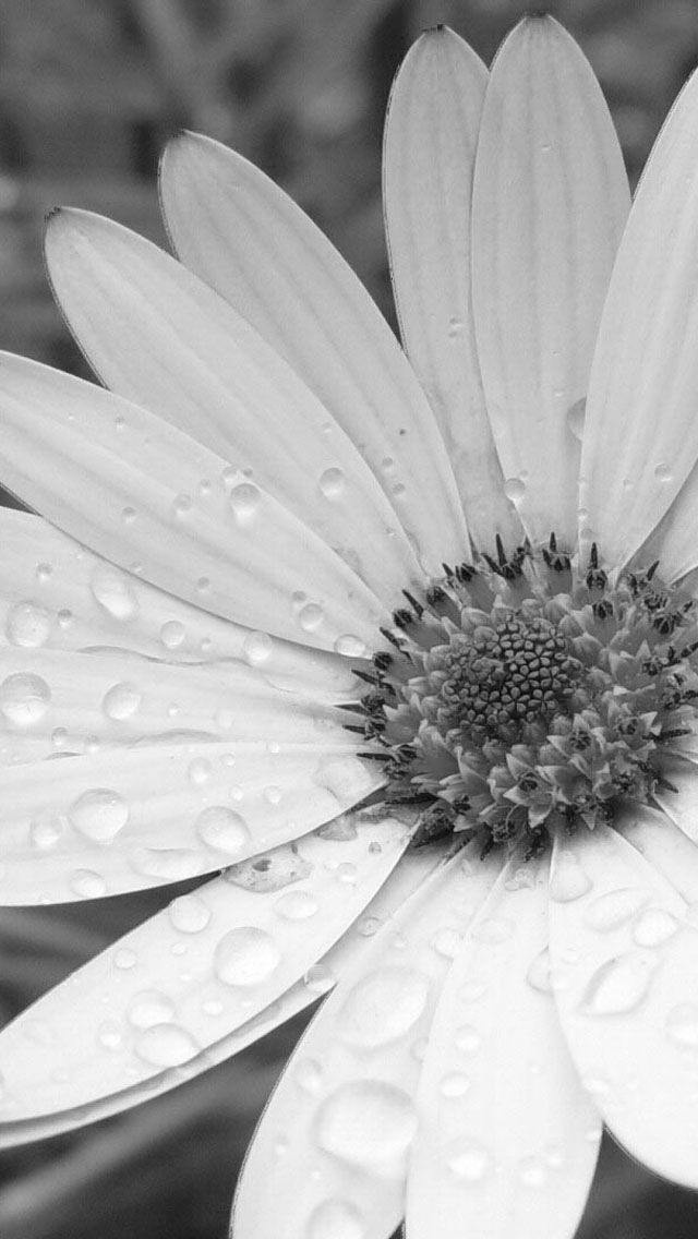 Black And White Flower Flowers Photography Wallpaper Flower Iphone Wallpaper Photography Wallpaper