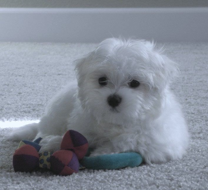 Maltese Puppies Maltese Breeders Maltese Puppies For Sale