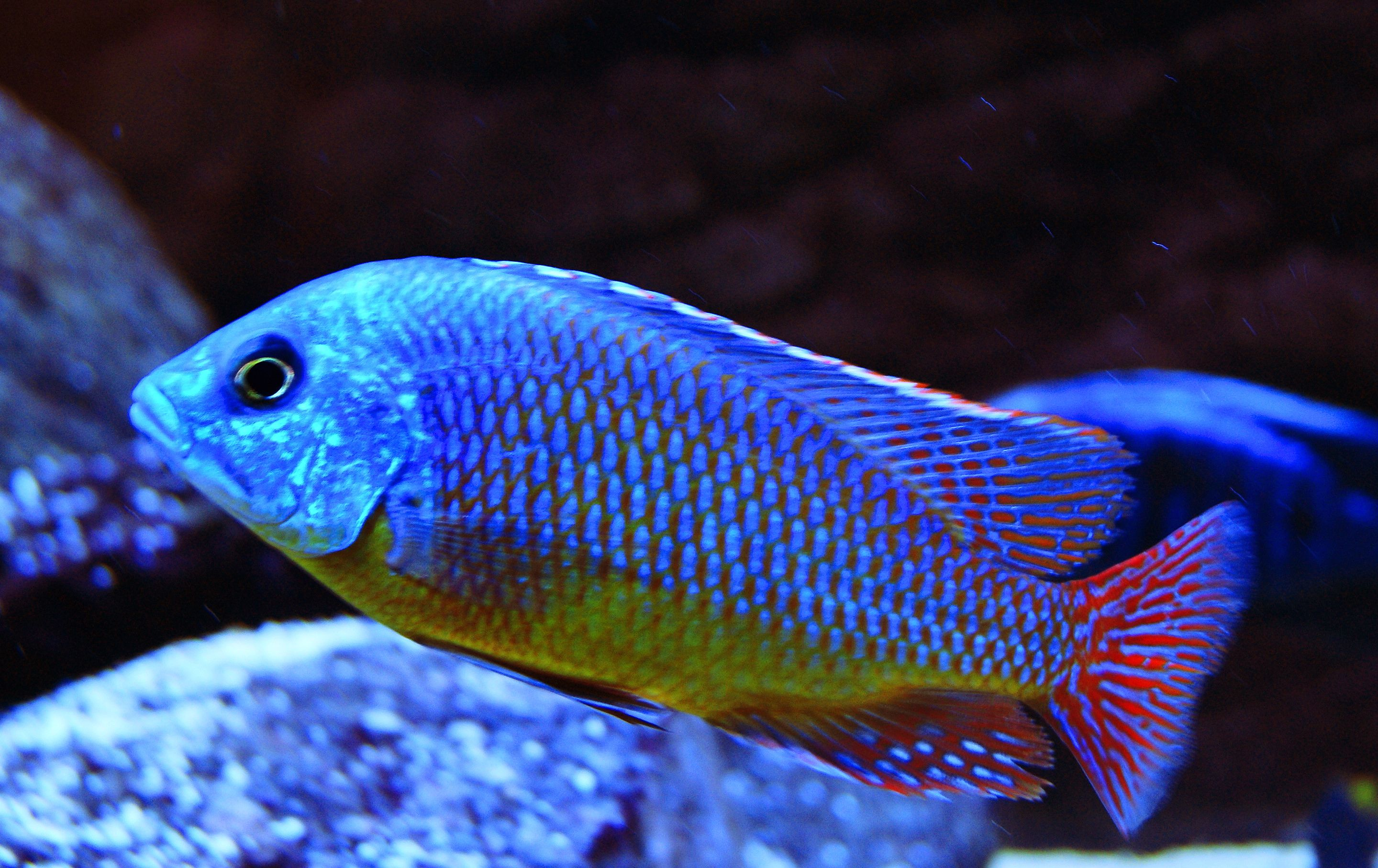 Protomelas Taeniolatus Red Super Red Empress Cichlid Cichlids Aquarium Fish African Cichlids