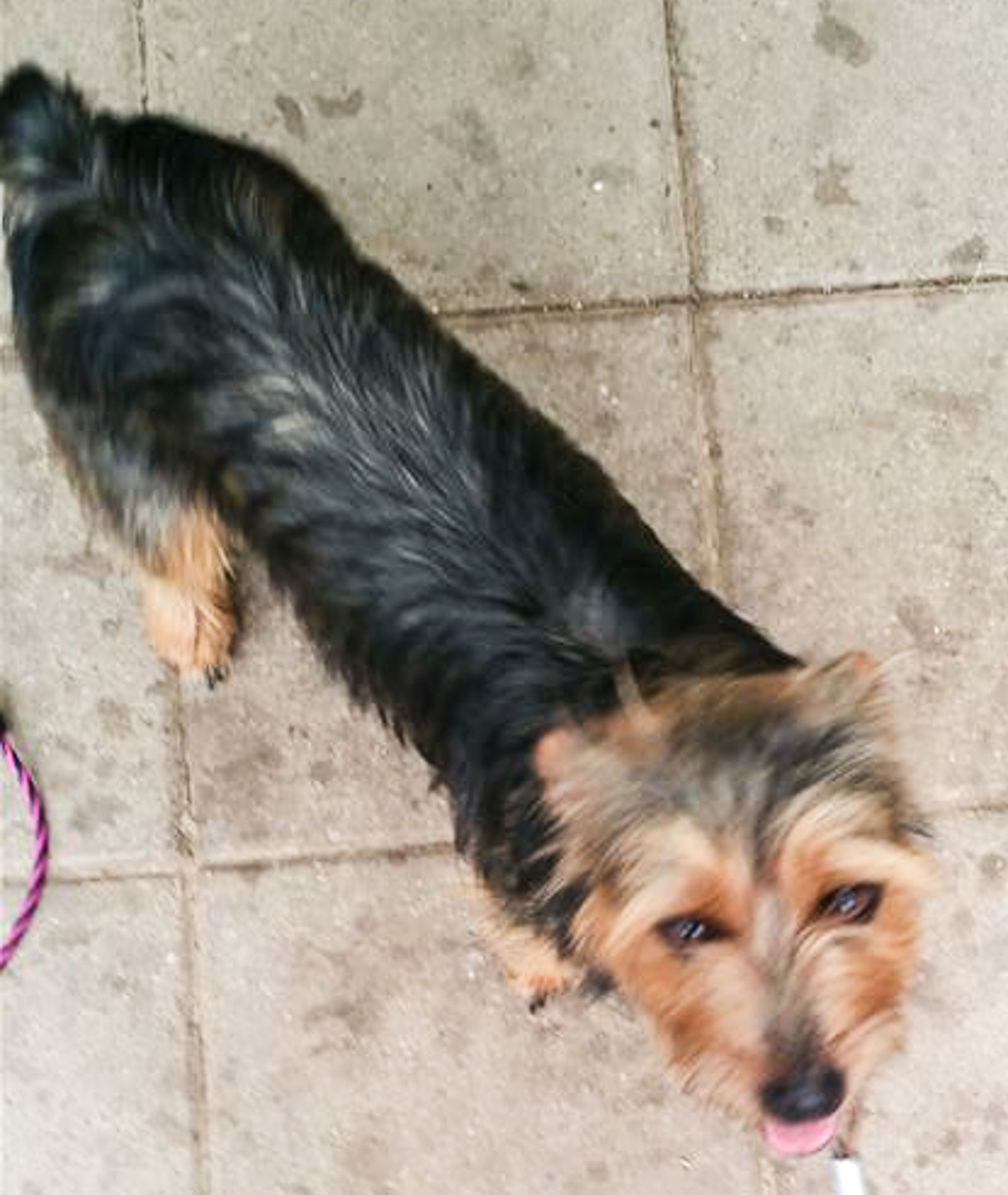 Found Dog - Terrier - Minerva, OH, United States 44657 on July 28, 2016 (07:45 AM)