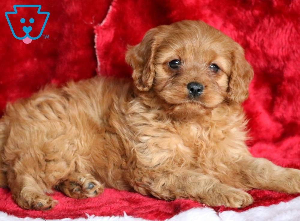 Flossy Cavapoo Puppy For Sale Keystone Puppies Cavapoo Puppies Cavapoo Puppies For Sale Puppies