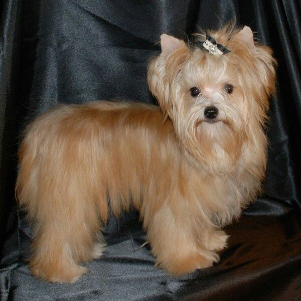 Gold Sable Yorkie Yorkshire Terrier Puppies Yorkie Yorkshire