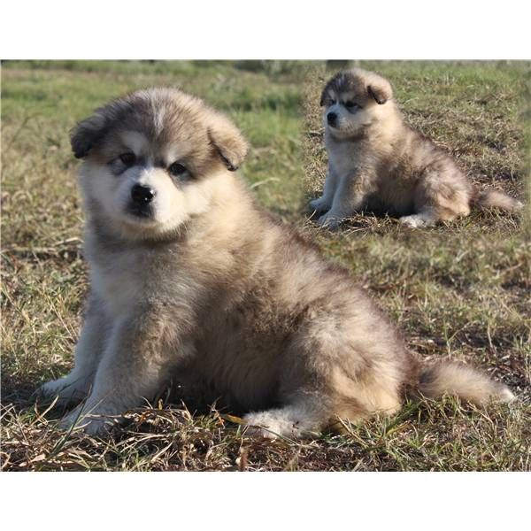 Akc Baby Boy A Cute Male Alaskan Malamute Puppy For Sale In