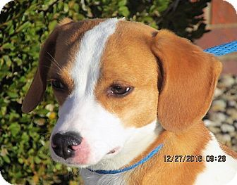 Germantown Md Beagle Feist Mix Meet Norma A Puppy For