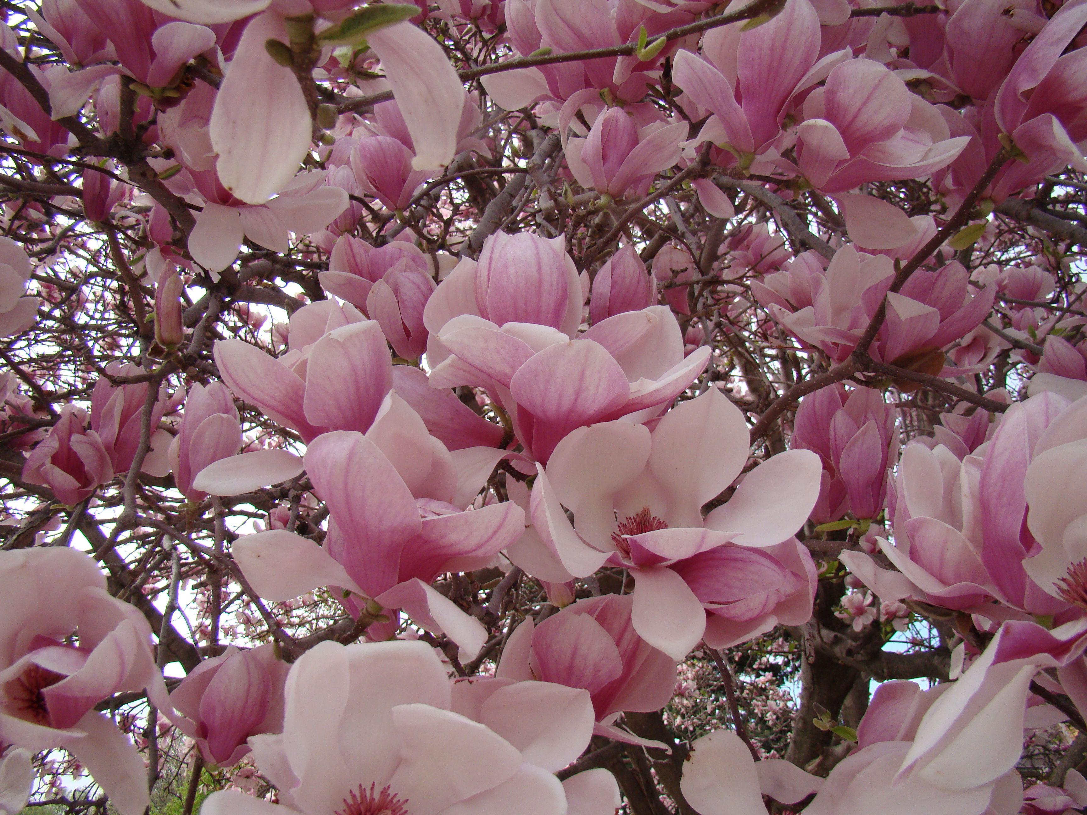 Jane Magnolia Saucer Magnolia Tree Magnolia Trees Fragrant Plant