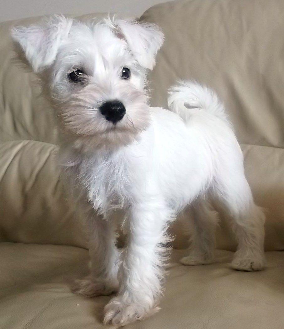 Ready Now Stunning White Kc Reg Boy Puppy Miniature Schnauzer