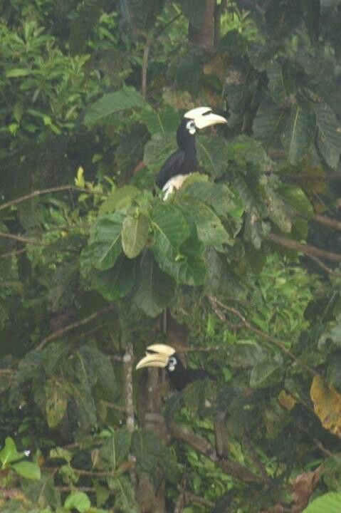 Hornbills at Borneo | Tropical Sense | Strait of malacca ...