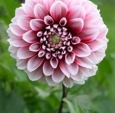 Symbolic Meaning Of The Dahlia Flower Synonym Dahlia Flower Flowers Tropical Wedding Flowers