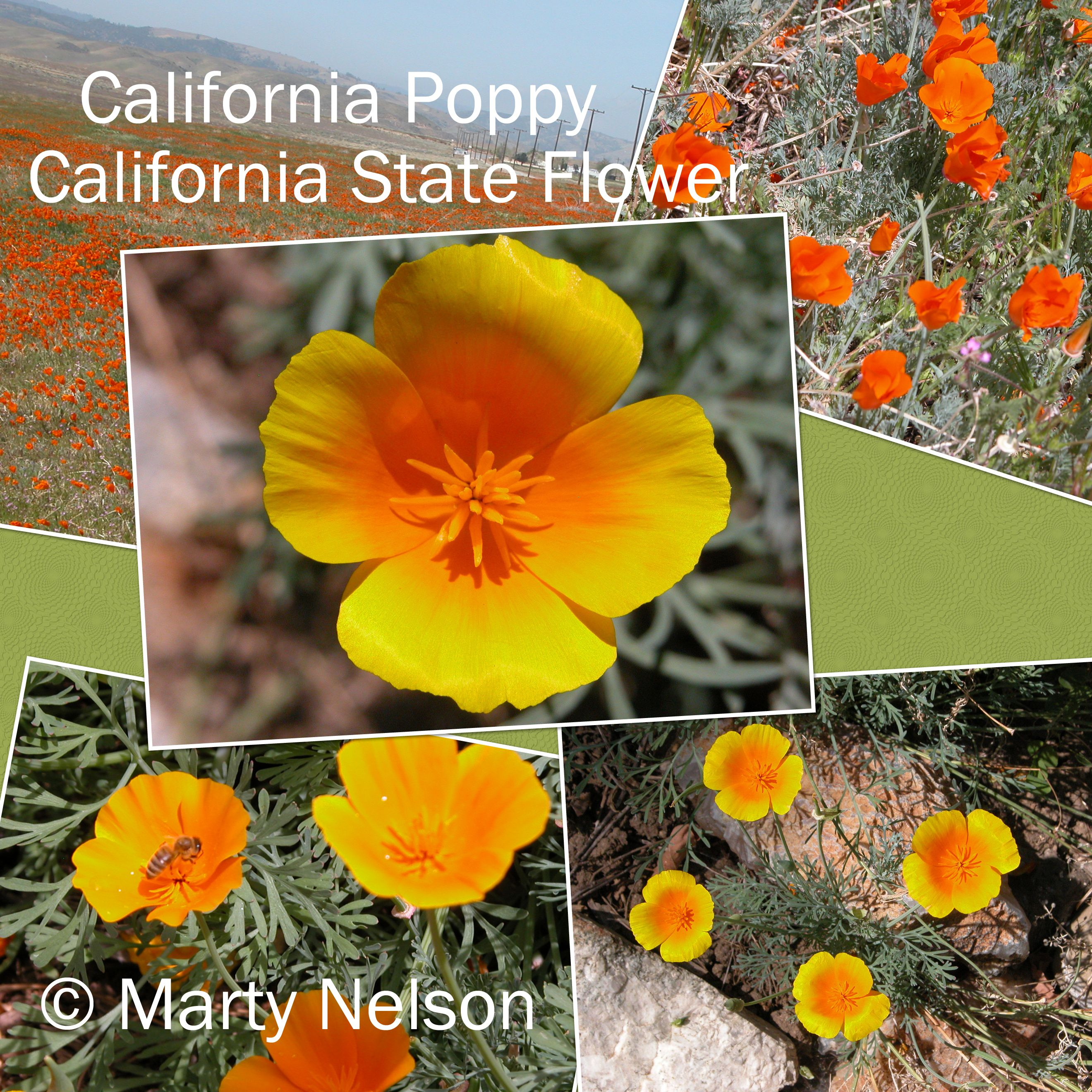 California Poppy California State Flower You May Freely Use This