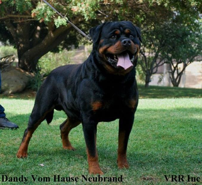 Find Out More On The Confident Rottweiler Dogs Size