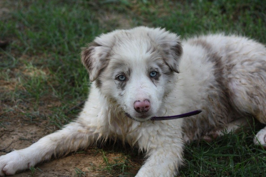 Hope Lilac Merle Female Border Collie Puppies Collie Puppies