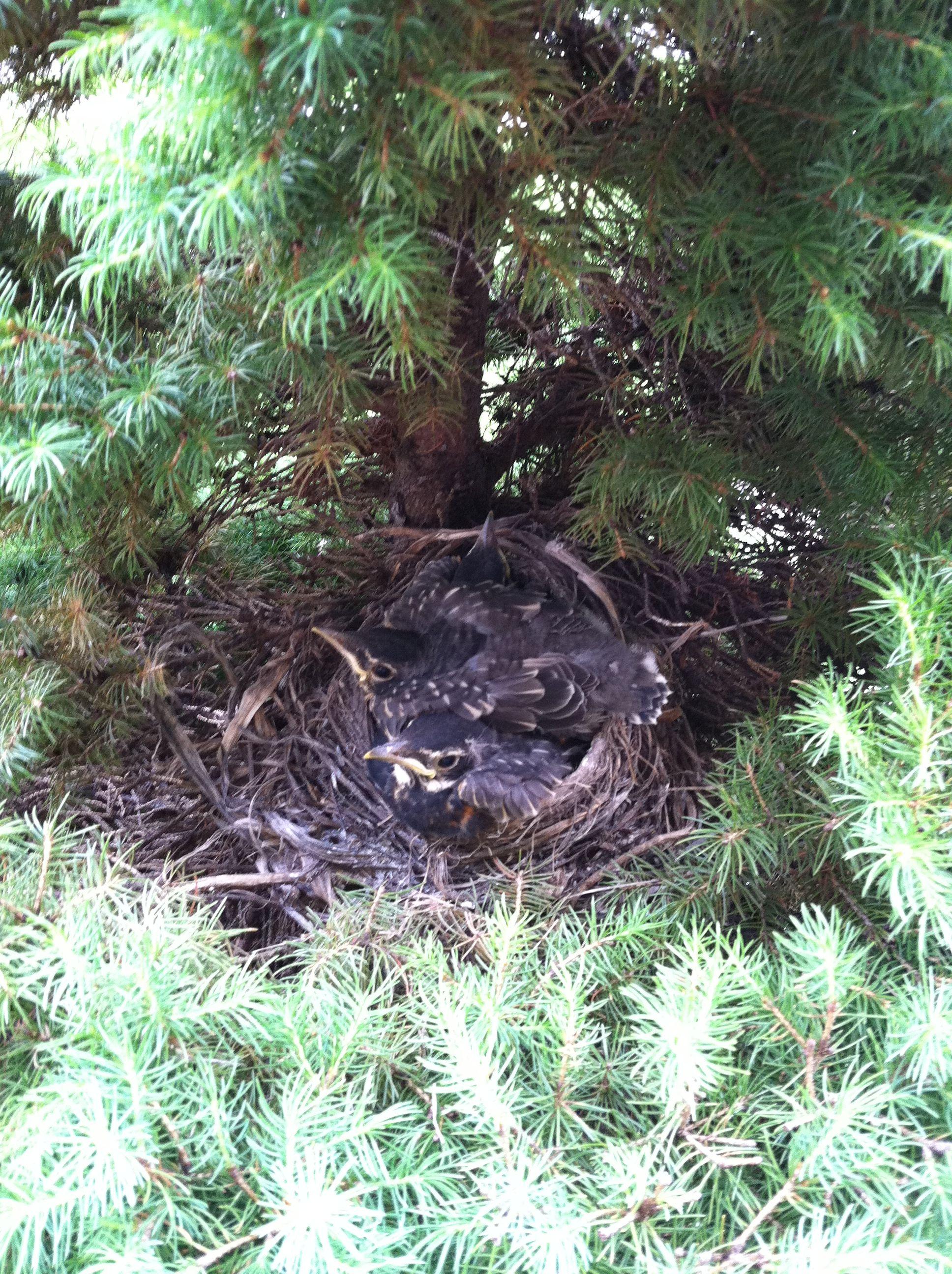 Growing birds!!   6-1-13