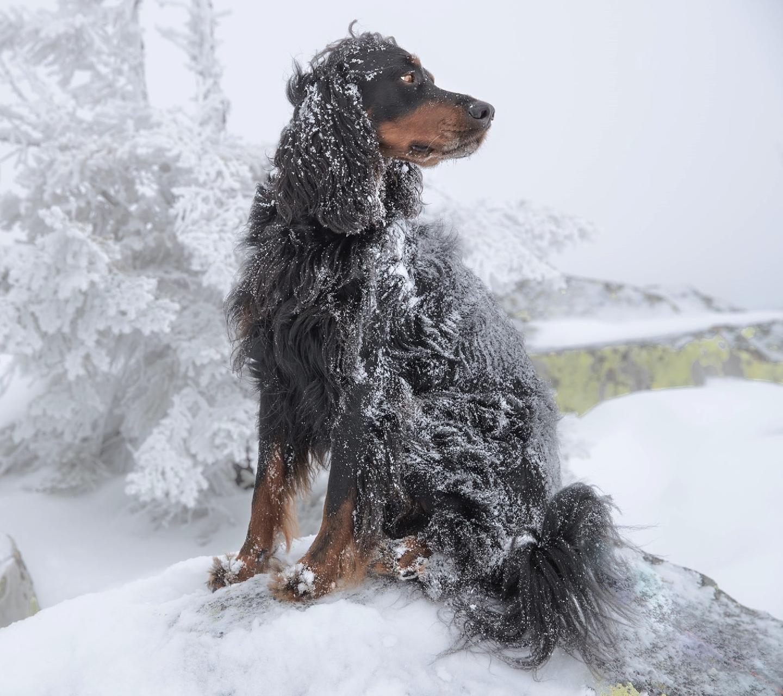 Gordon setter Dog wallpaper, Winter dog, Gordon setter