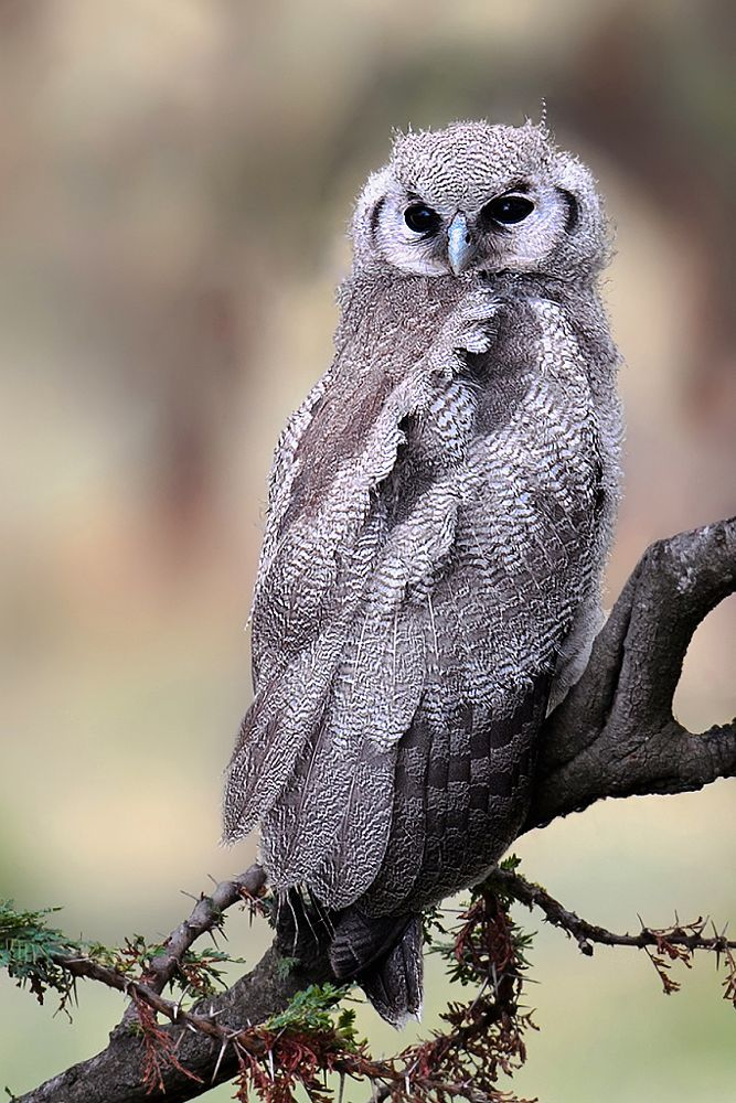 Verreaux's Eagle-Owl by Marc MOL on 500px