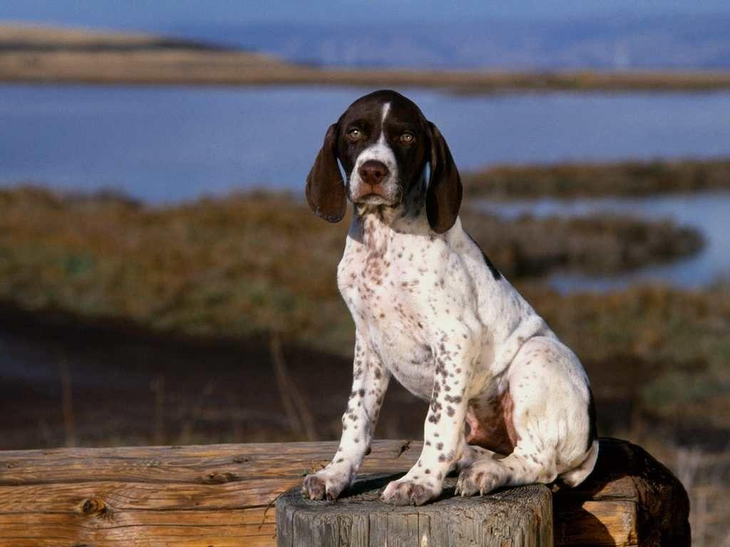 white pointer dog   cute pointer puppy dog wallpaper   dog