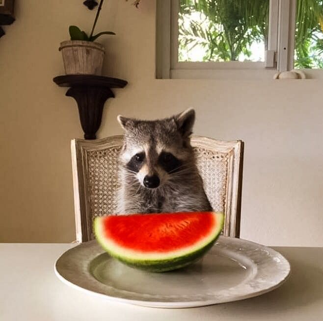 Raccoon about to eat watermelon