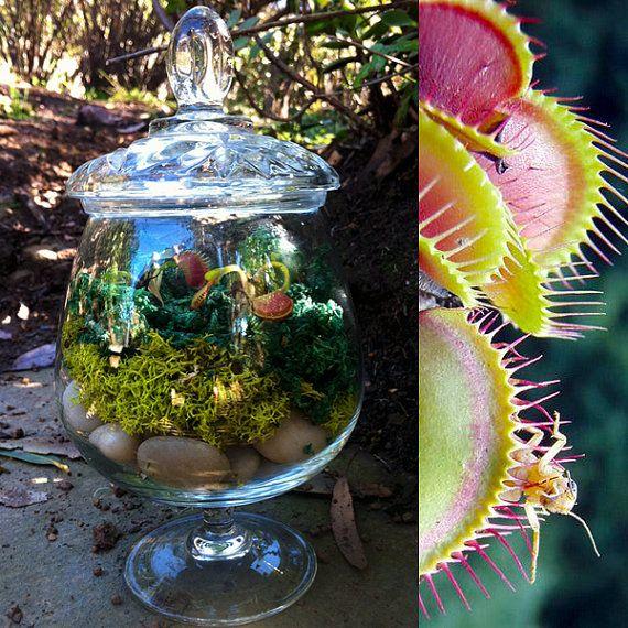 carnivorous plant terrarium pflanzenliebe pflanzen treibhaus und garten. Black Bedroom Furniture Sets. Home Design Ideas