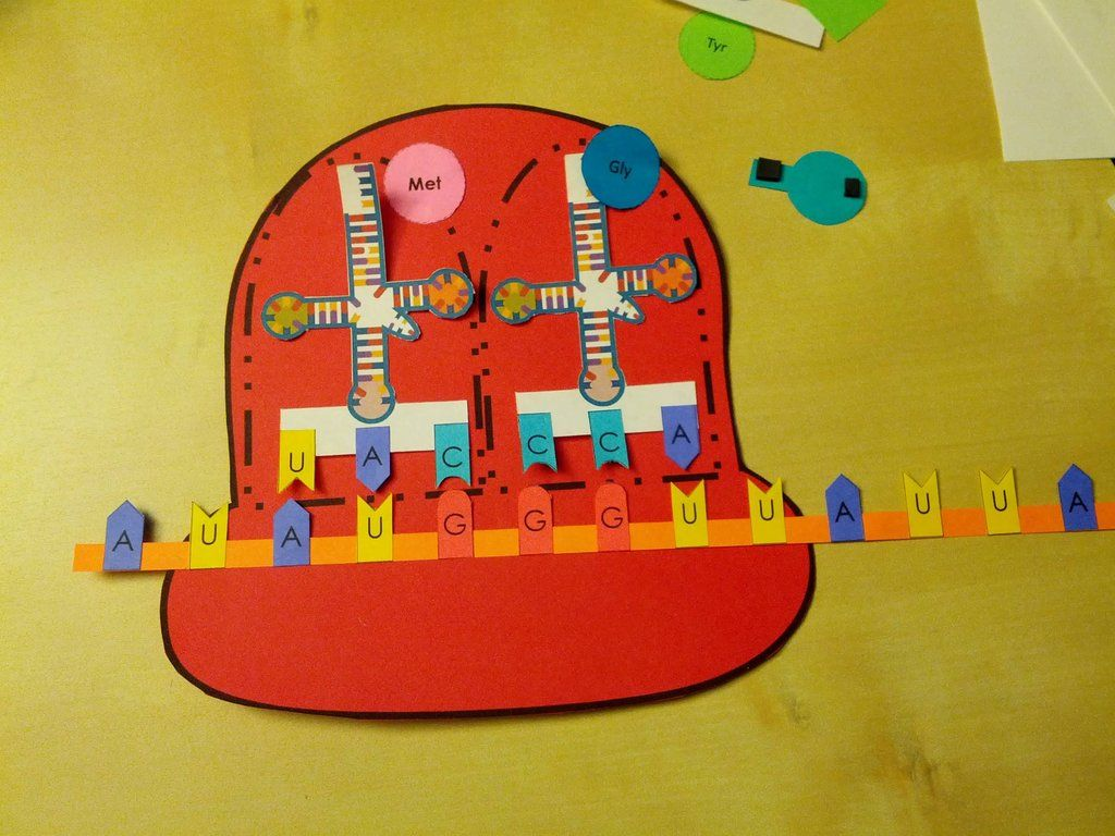 Protein Synthesis Paper Model Activity