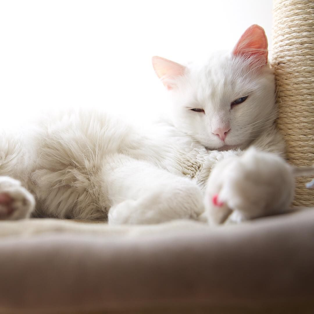 White Beautiful Cat Feline Cat Cats White Sleeping