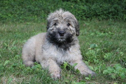 Bouvier Des Flandres Puppies