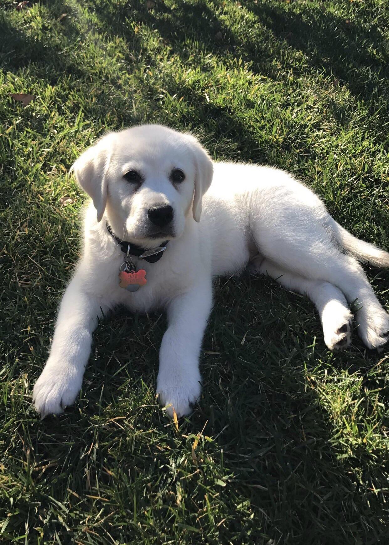 Jaxx The Super Cute Fluffy White Lab Puppy Http Ift Tt 2uuzewv