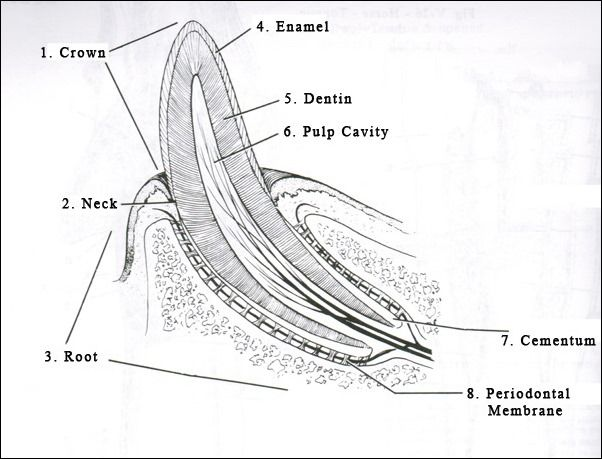 A look inside a dog's tooth. Dog's and cat's teeth have 8 major ...