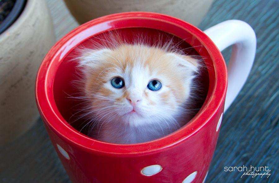 Pets Sarah Hunt Photography Scottish Fold Kittens Kitten Rescue Kitten