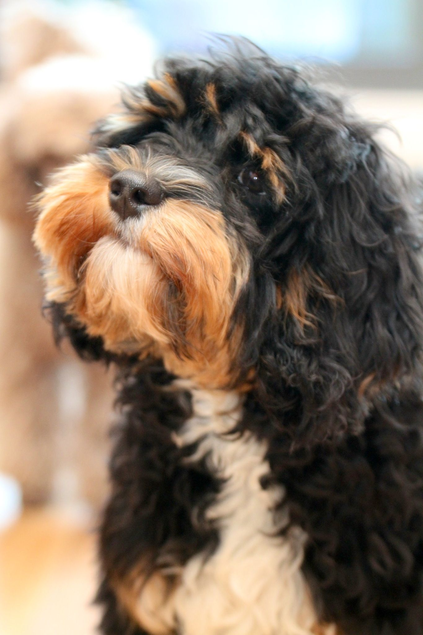 Beautiful Cavoodle Puppies And Kitties Cavapoo I Love Dogs