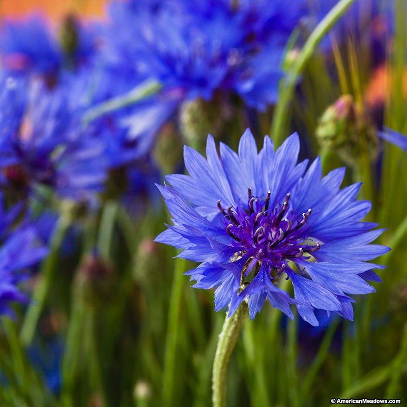 Blue Cornflower Or Bachelor Button Seeds Bachelor Button Flowers Flower Garden Plans Bachelor Buttons