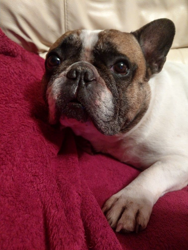 Juliette Is An Adoptable French Bulldog Dog In Syracuse Ny